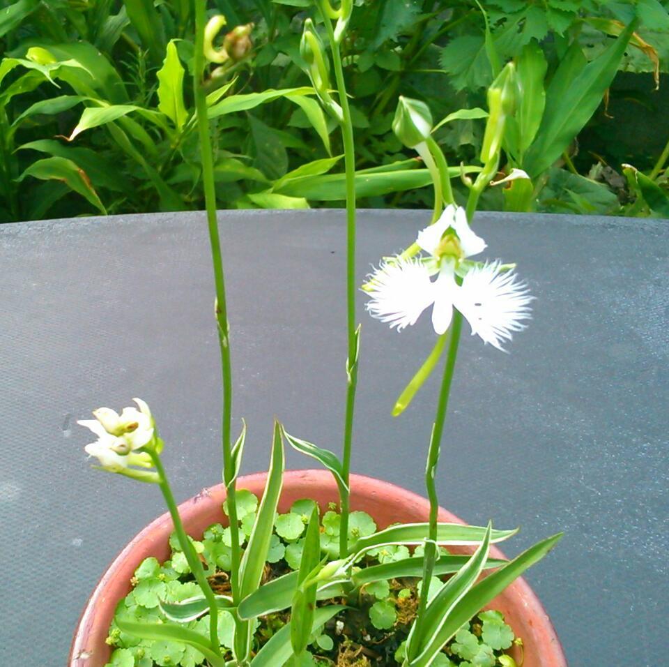 サギソウ、咲きました